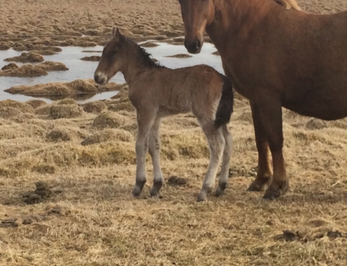 First born foal of the year 2014