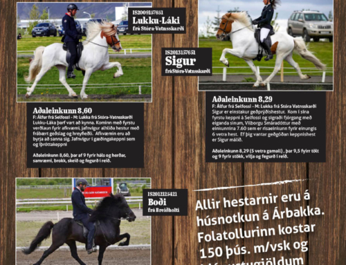 Breed your own Icelandic Horse