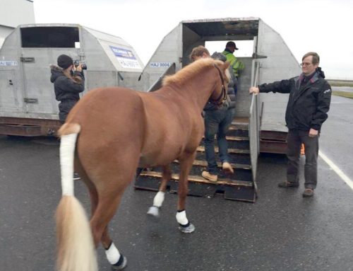 Hestvit is Exporting Horses to USA